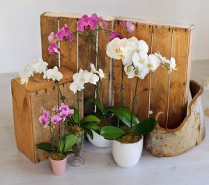 Sydney florist phalaenopsis orchid Floral Expressions