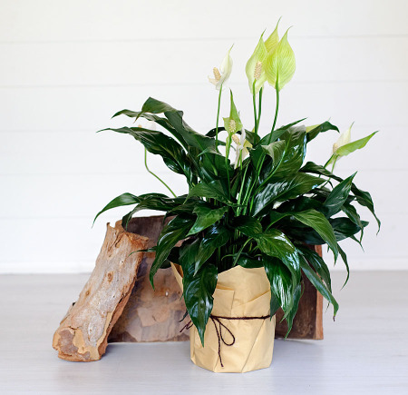 Peace Lily plant delivered